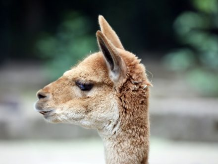 Zoo_Lama_Q01_ml