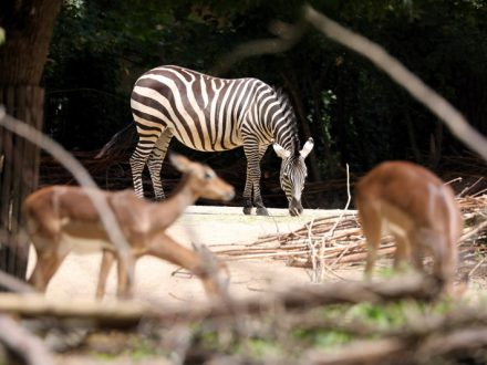 Zoo_Zebra_Q01_ml